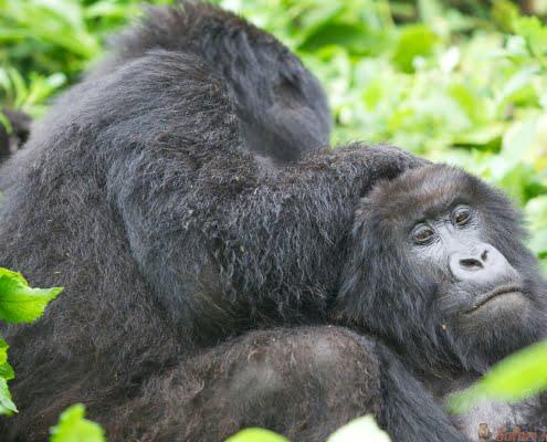 Vrouwelijke berggorilla's, vulkanen NP, Rwanda
