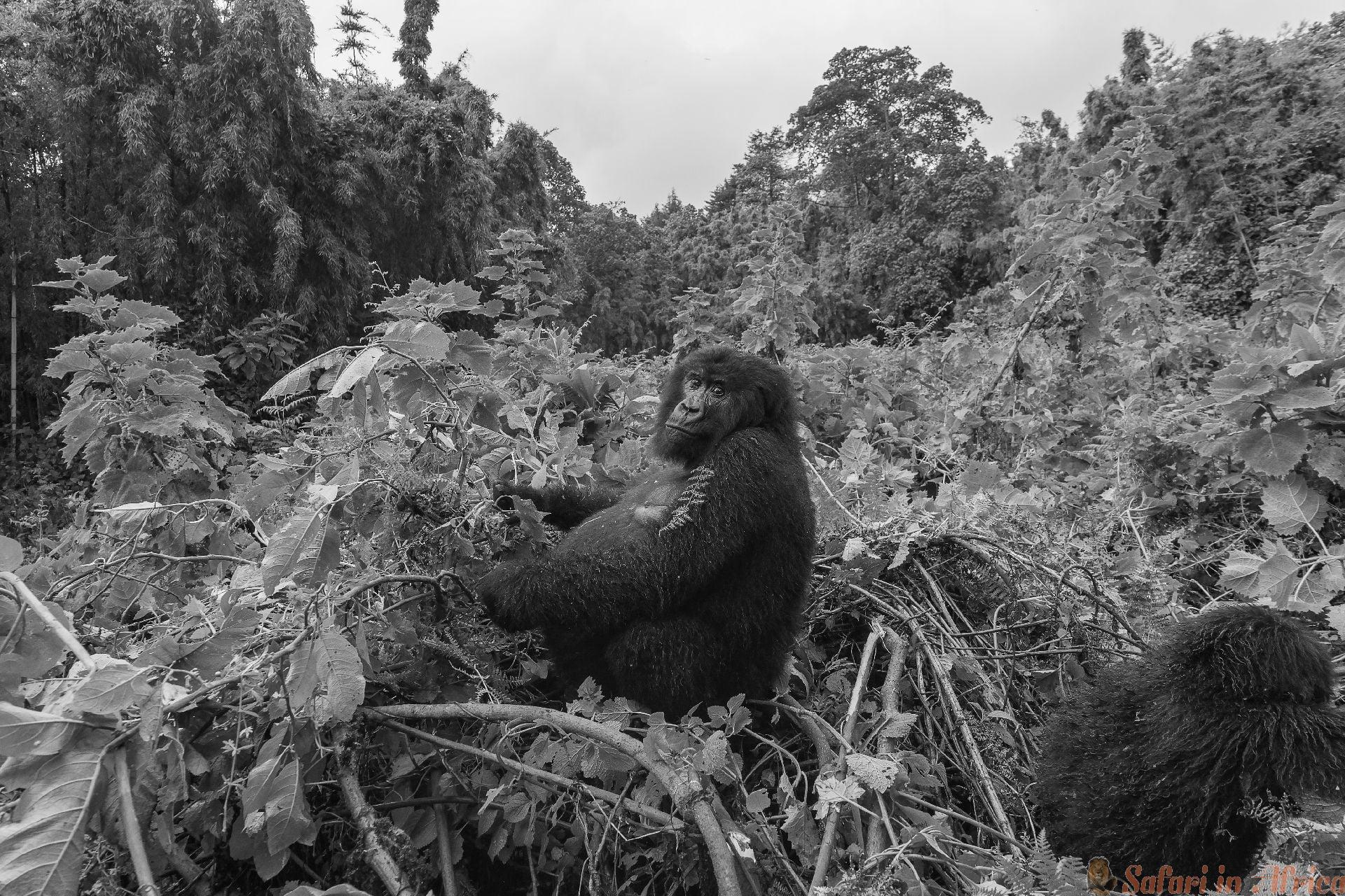 Vrouwelijke zwangere Gorilla bij Volcanoes National Park in Rwanda B&W