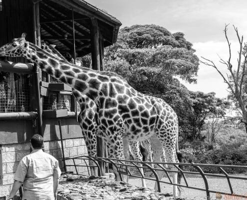 Giraffe center in Kenya, Nairobi B&W
