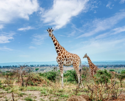 Giraf in Murchison Nationaal Park, Oeganda
