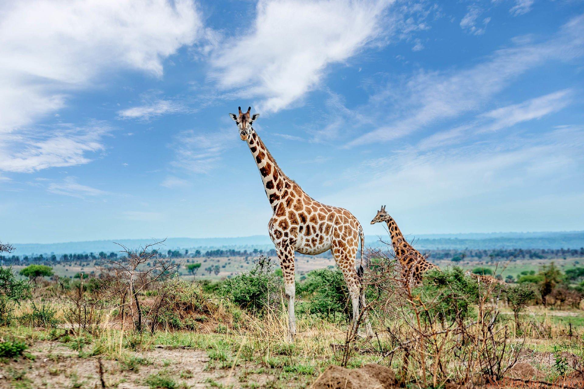 Giraffe in Murchison falls National Park, Uganda