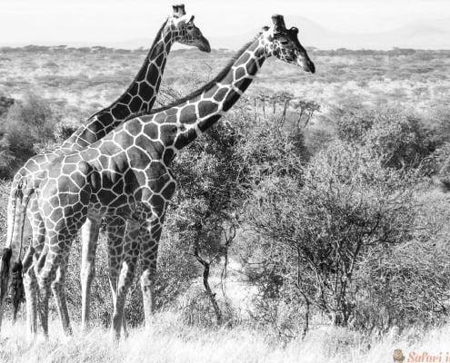 Giraffes, Samburu National Reserve, Kenya. B&W