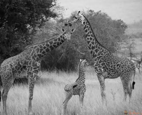 Giraffen in Akagera Nationaal Park, Rwanda B&W
