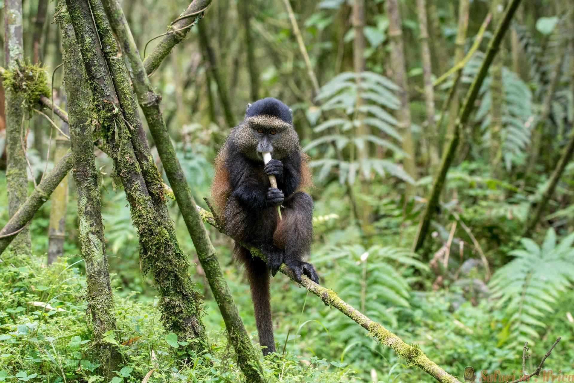 Gouden aap in het nationale park van vulkanen