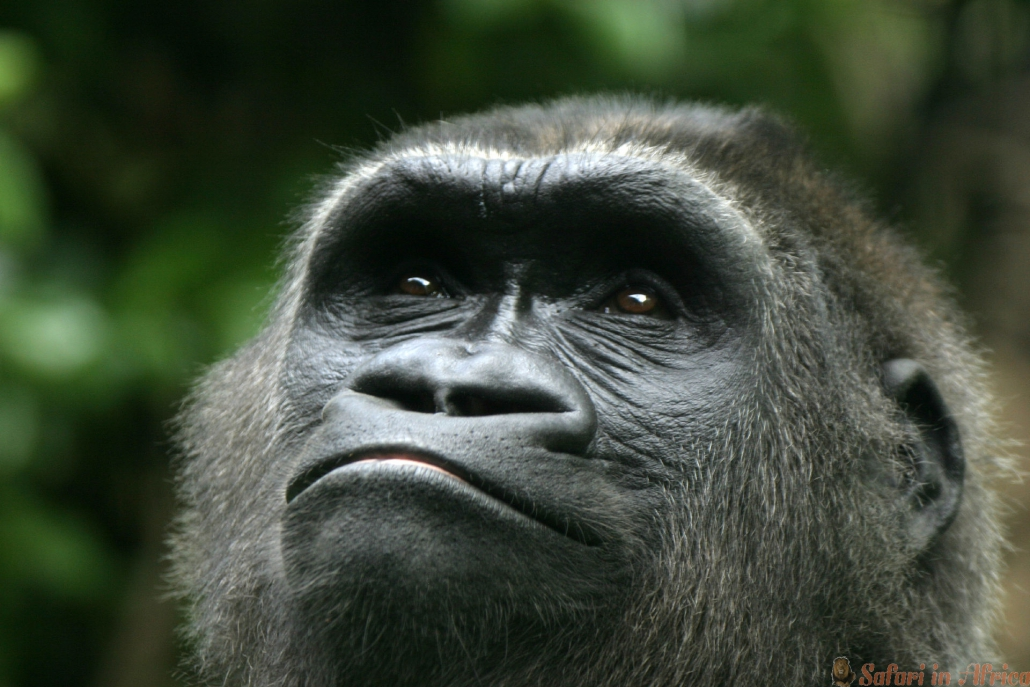 Gorilla close up, Rwanda