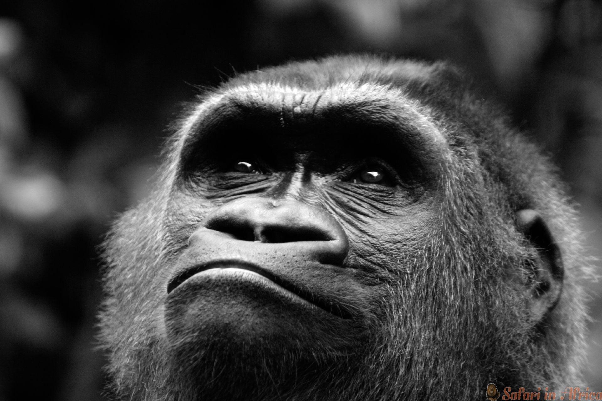 Gorilla close-up, Rwanda 2 B&W