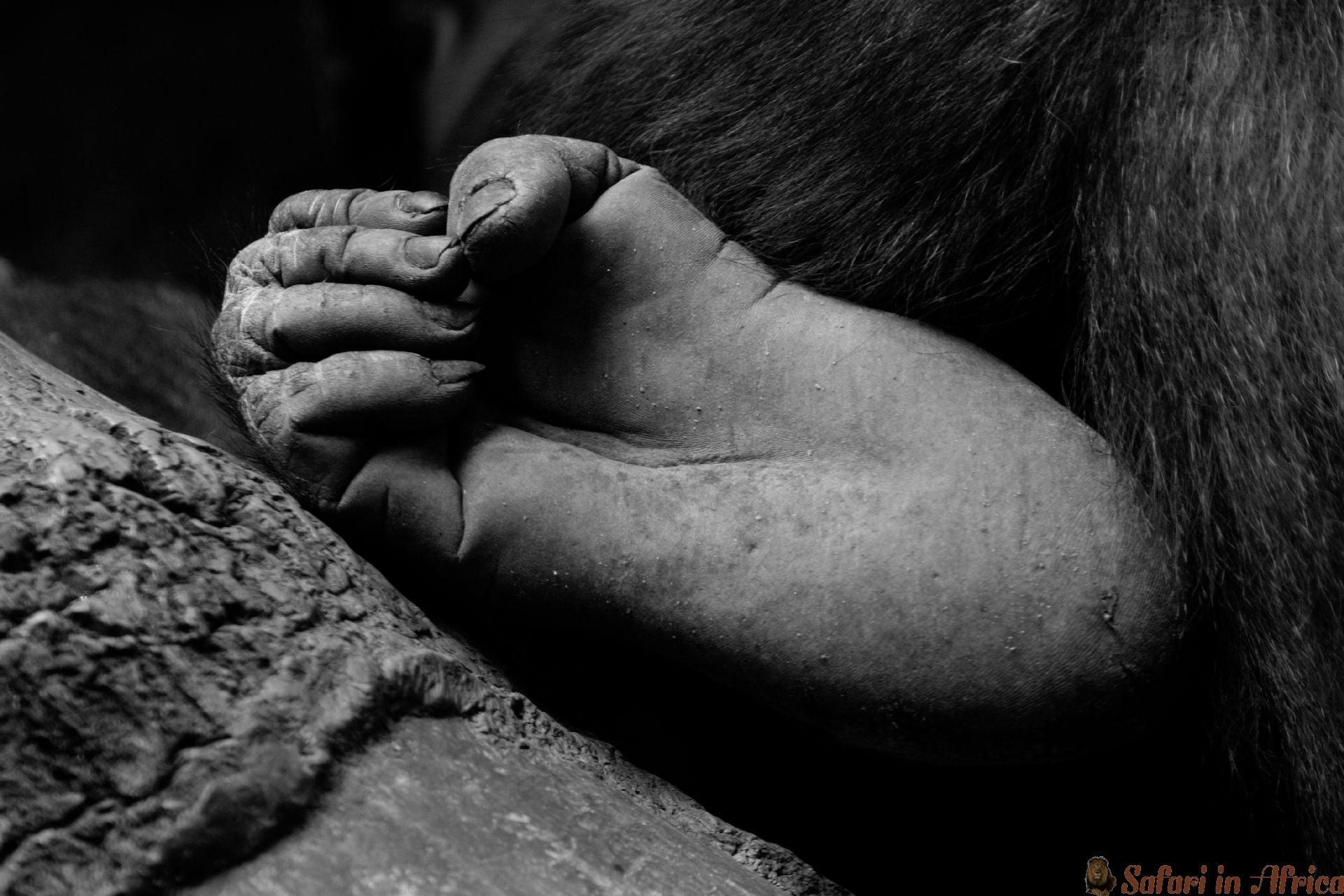 Gorilla voet, Rwanda B&W