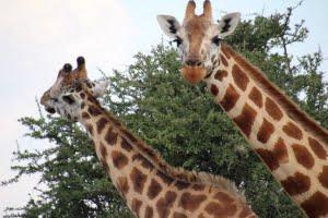lake-nakuru-giraffen