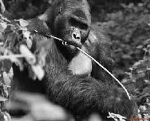 Kahuzi Biega gorilla B&W