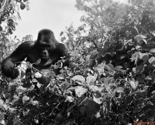 Kahuzi biega gorilla in bos B&W