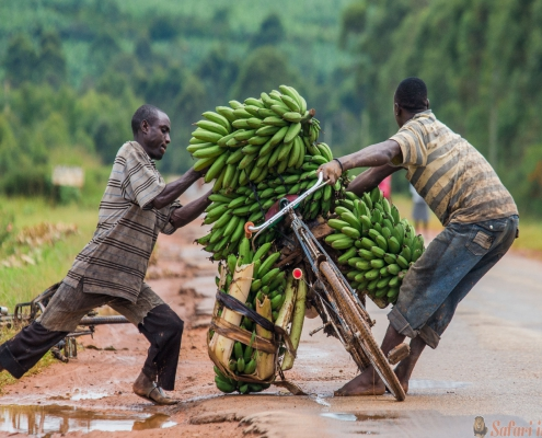 Kisoro. Uganda. Africa. The young man is lucky by bicycle on the road a big linking of bananas to sell on the market.