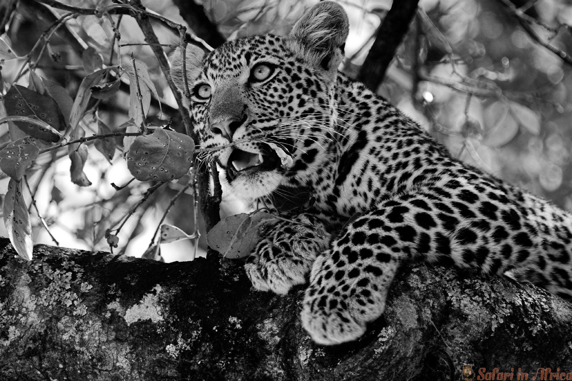 Leopard, Serengeti NP, Tanzania B&W