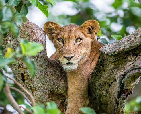 Leeuwin liggend op een grote boom. Detailopname. Oeganda 3