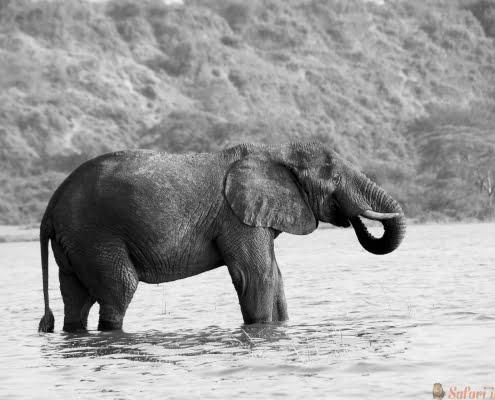 Mannelijke Afrikaanse olifant, Kazinga Channel B&W