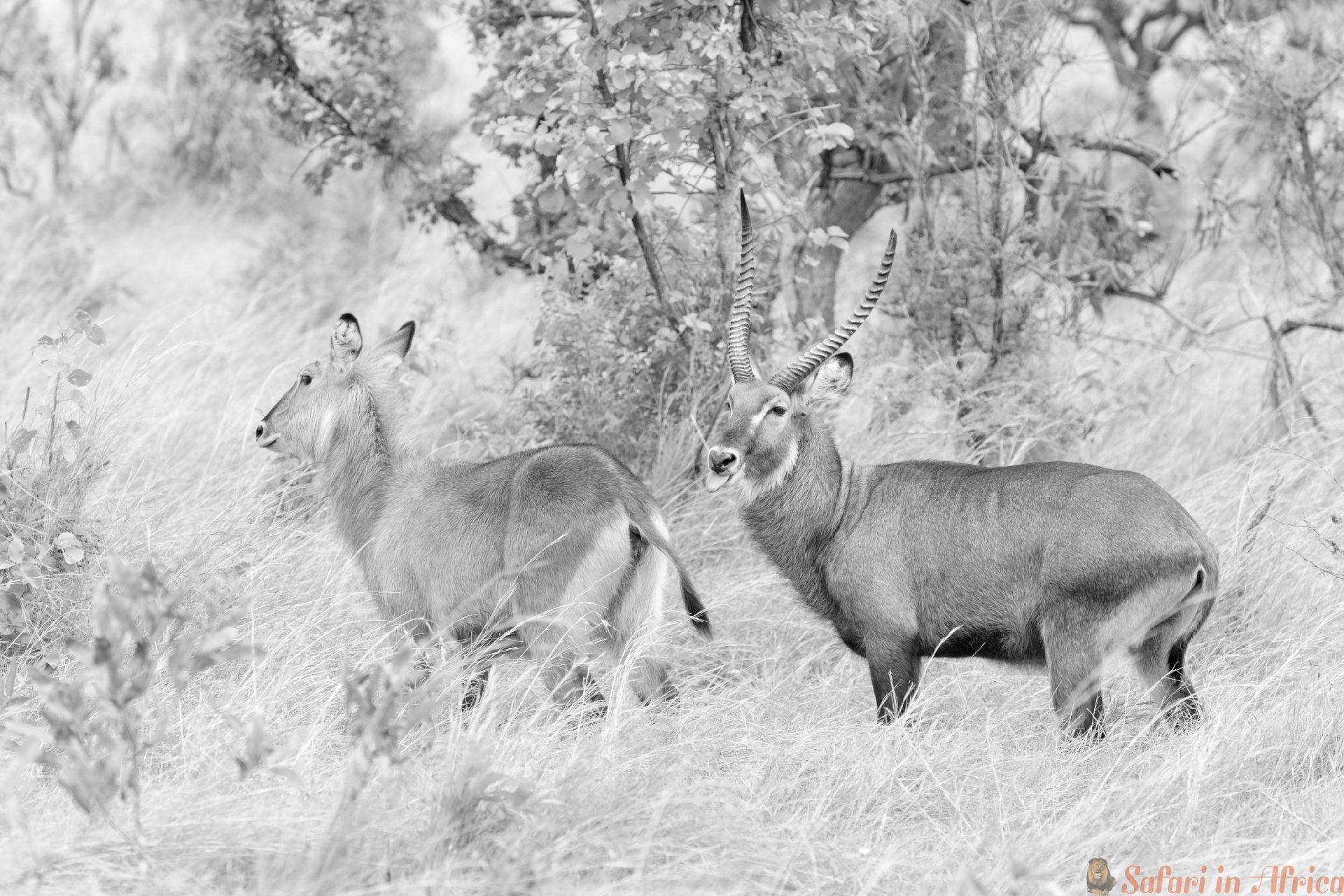 Mannelijke en vrouwelijke Waterbucks Kobus ellipsiprymnus defassa in verkering, Akagera National Park, Rwanda B&W