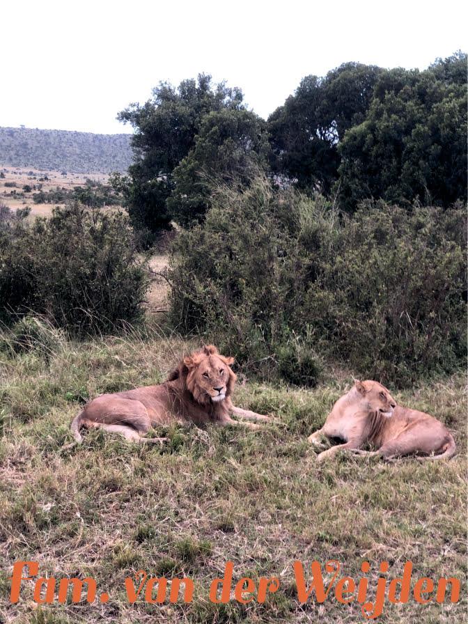 Masai leeuw en leeuwin