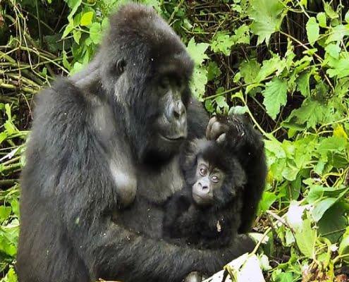 Moeder & kind Kahuzi Biega