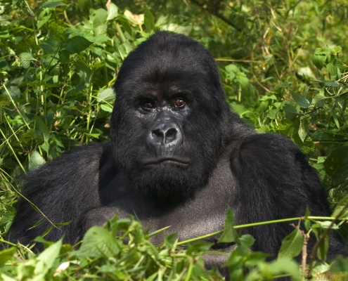 Mountain Silverback Gorilla, Virunga Mountains, Rwanda
