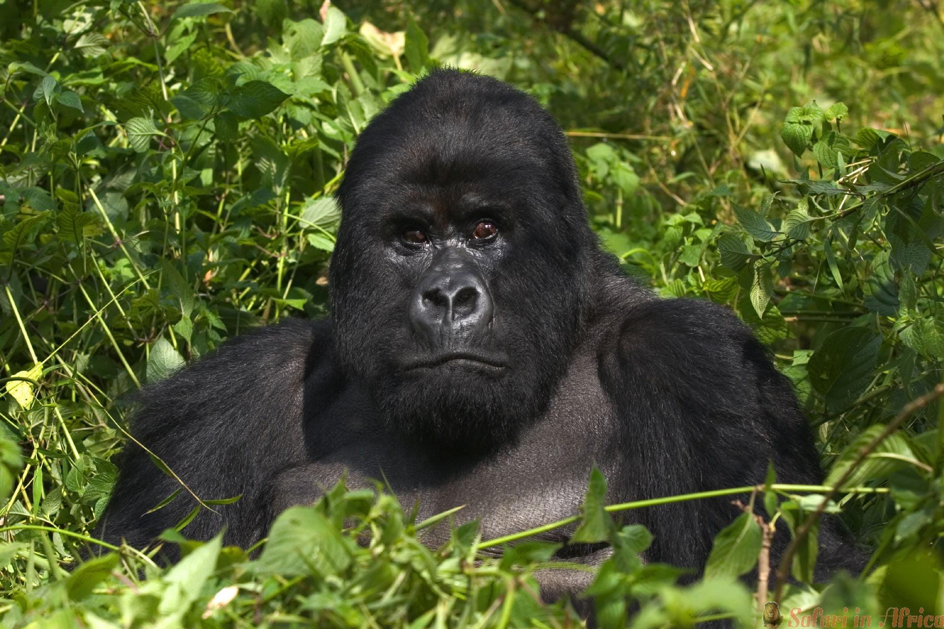 Mountain Silverback Gorilla, Virunga Mountains, Rwanda