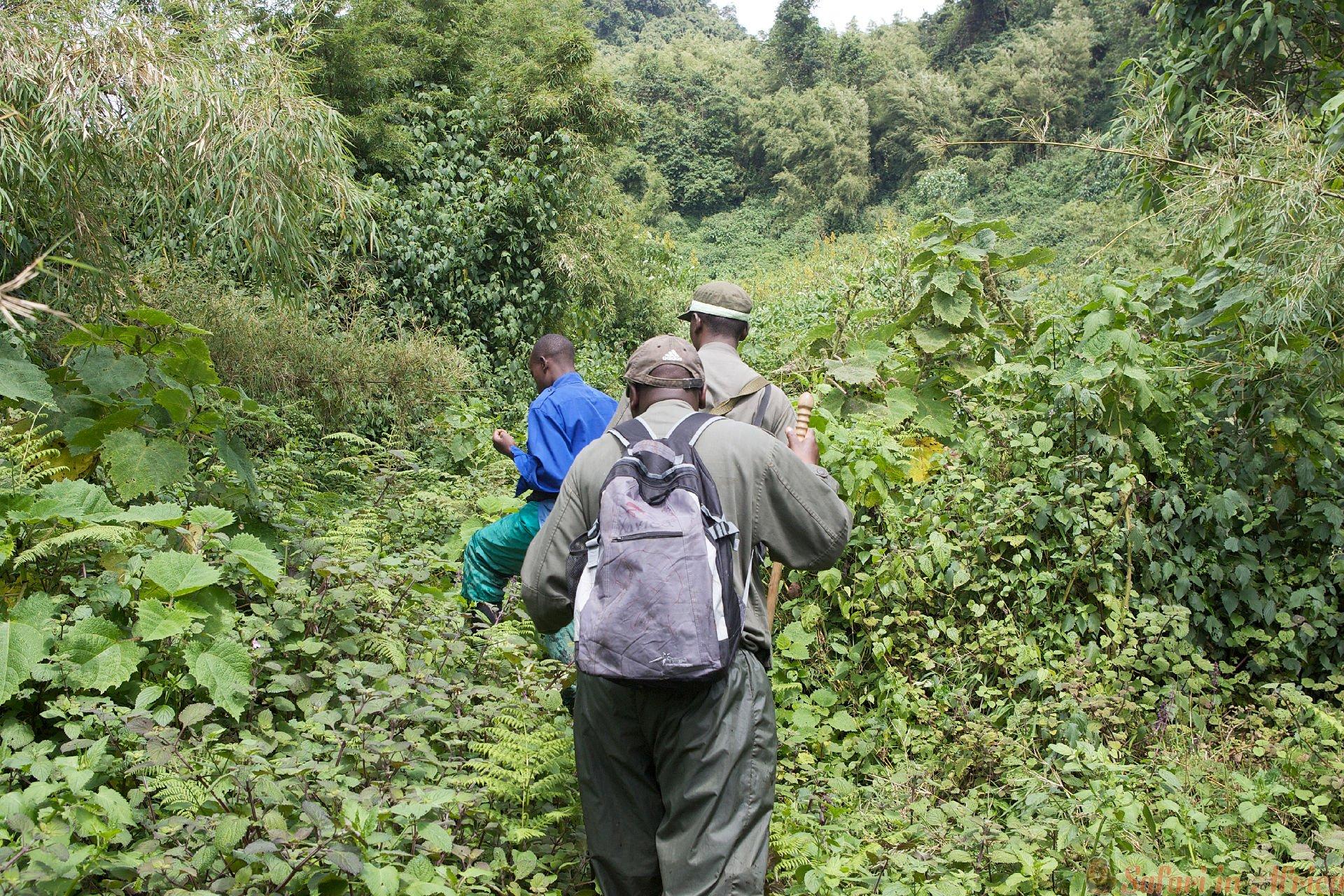 Berggorilla Trekking in het bos bij de vulkanen