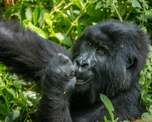 Mountain gorilla eating in the Virunga National Park, Democratic Republic Of Congo