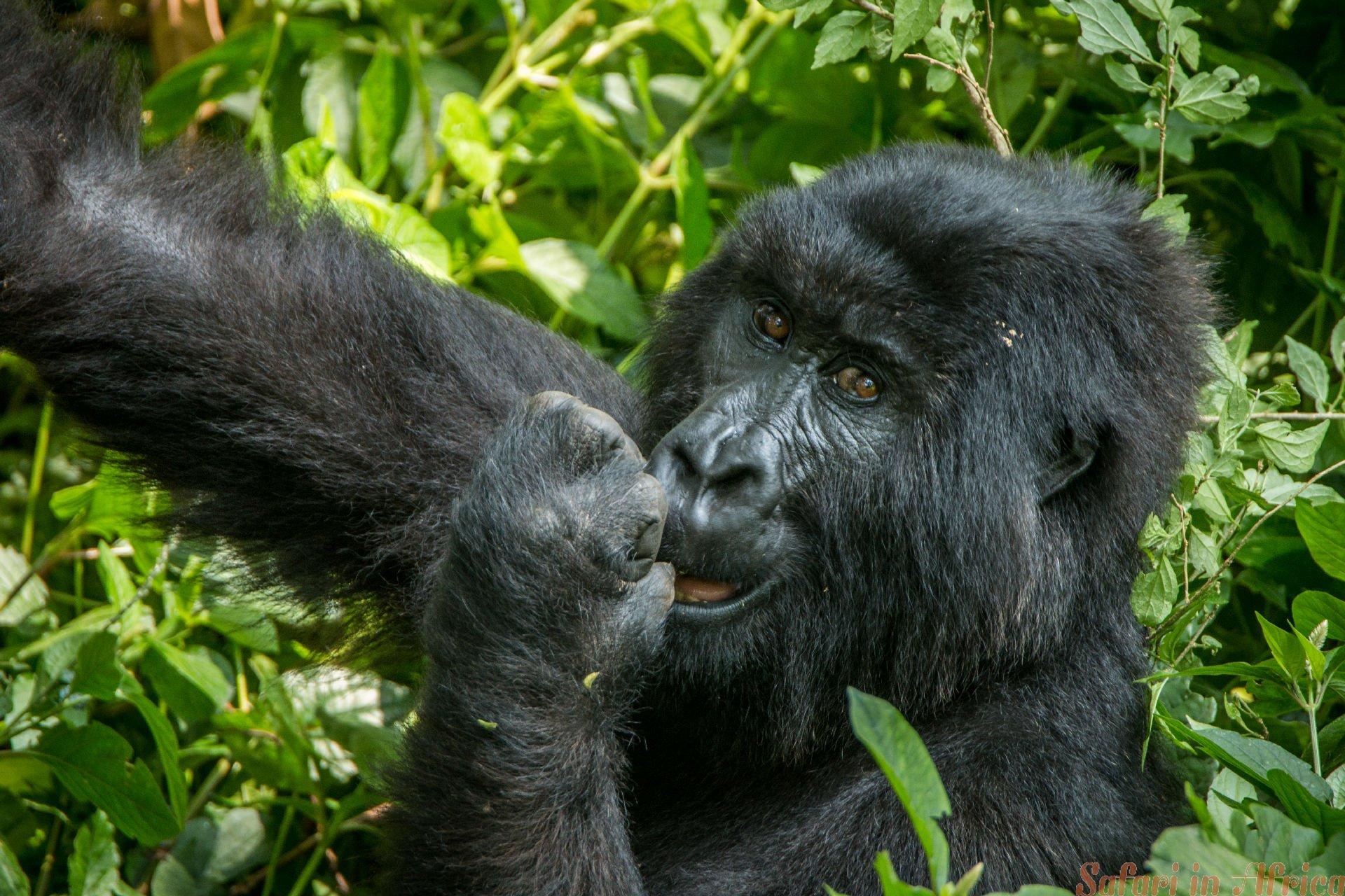 Mountain gorilla eating in the Virunga National Park, Democratic Republic Of Congo