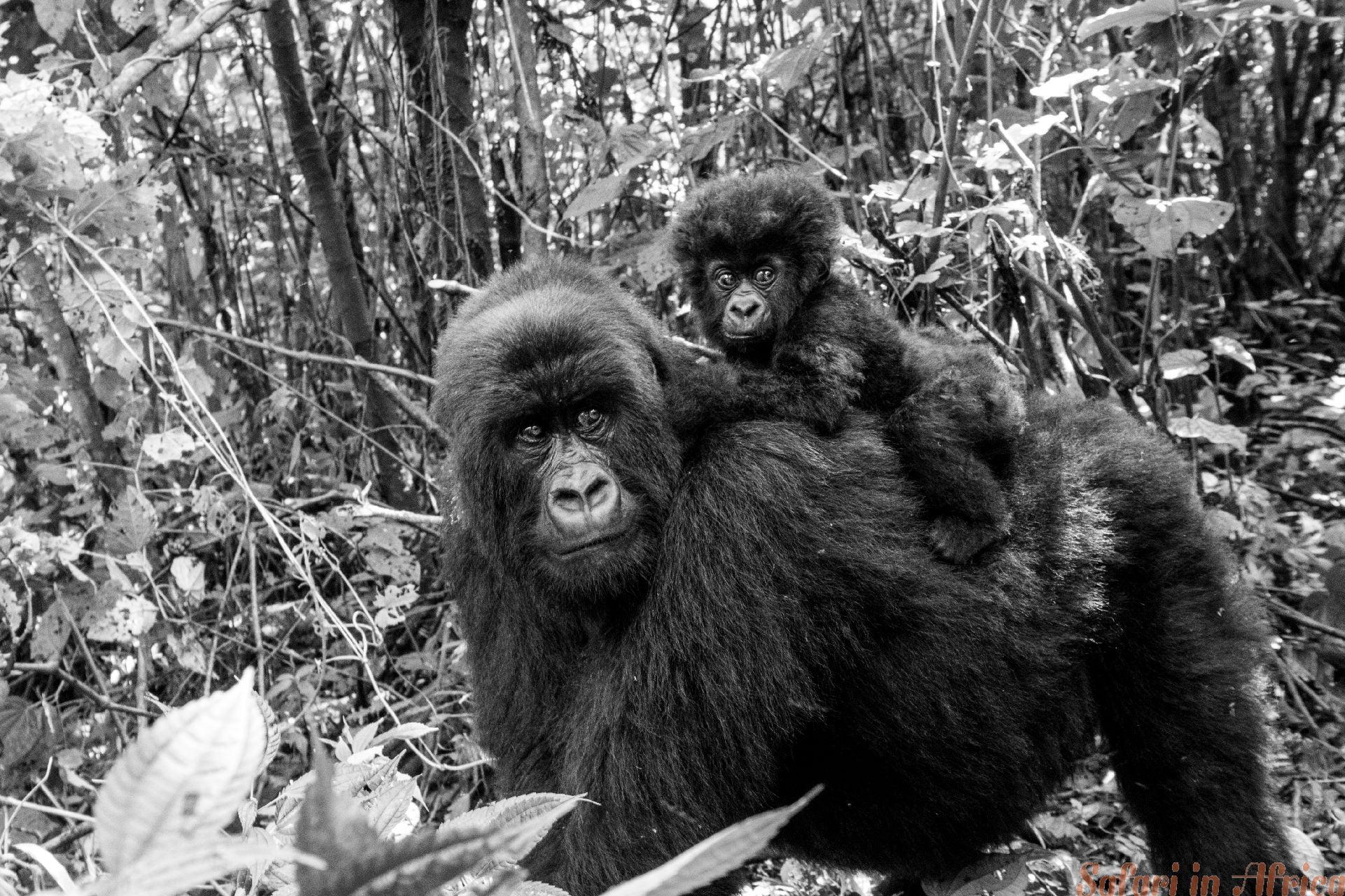 Mountain gorilla with a baby. Virunga B&W