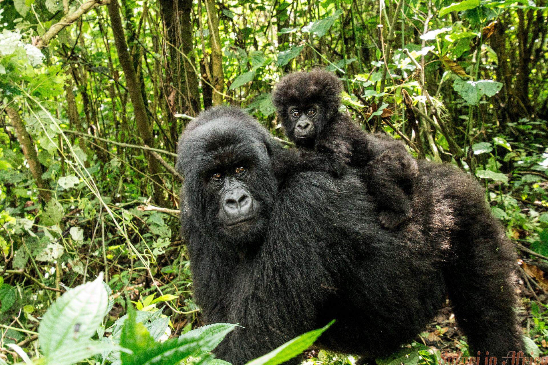 Berggorilla met een baby. Virunga