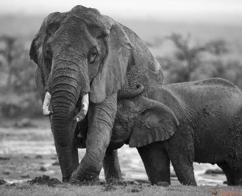 Ol Pejeta -elephants-KenyaSafari-HR B&W