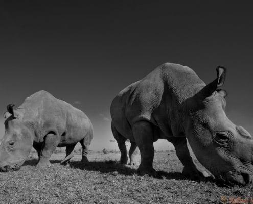 Ol Pejeta rhinos B&W