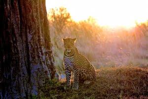 OlPejeta-leopard-KenyaSafari-MR-(1)
