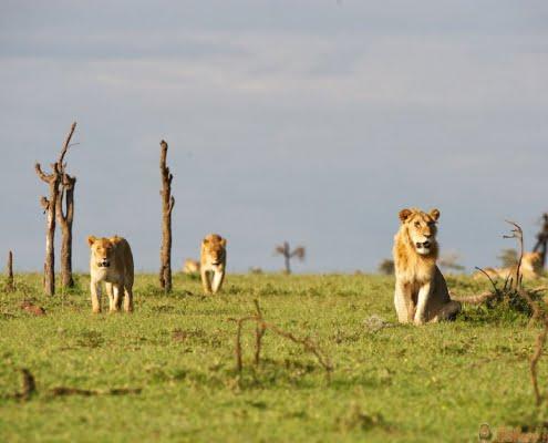 OlPejeta-lions-Kenya-Safari