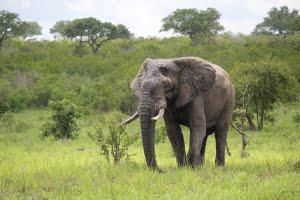 safari-in-kenia-Olifanten