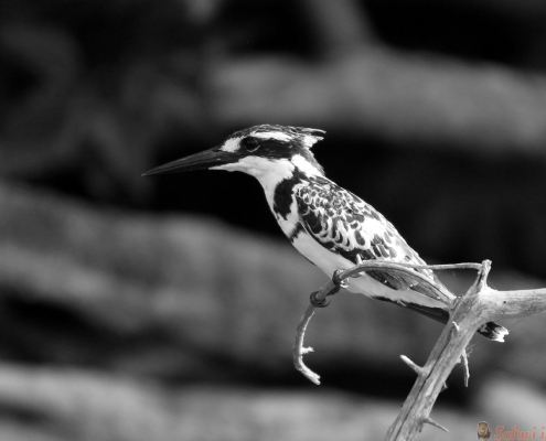 Bonte Ijsvogel Ceryle rudis op een tak. Lake Mburo, Uganda B&W