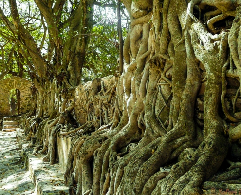 Roots of old trees in Fasilides' Bath in Gondar, Ethiopia