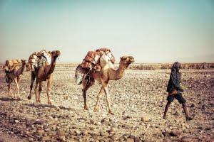 Salt Camel in Dallol, Danakil Depression, Ethiopia