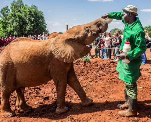 Sheldrick Elephant Orphanage in Nairobi (Kenya) - one of the workers feeding a young orphant elephant with milk