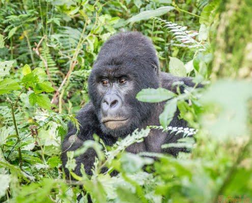 SIlverback berggorilla in het Virunga National Park