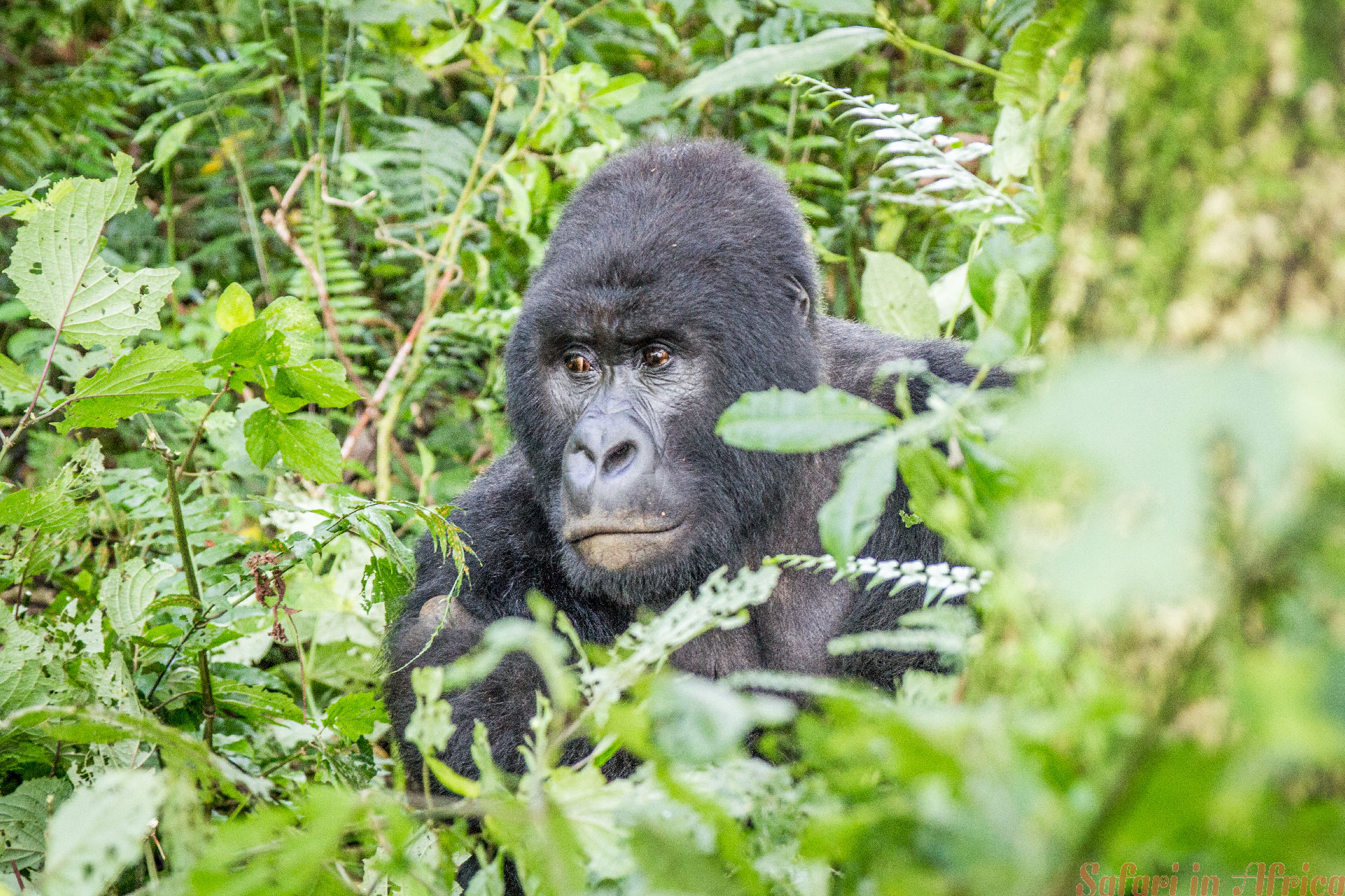 SIlverback berggorilla in het Virunga National Park