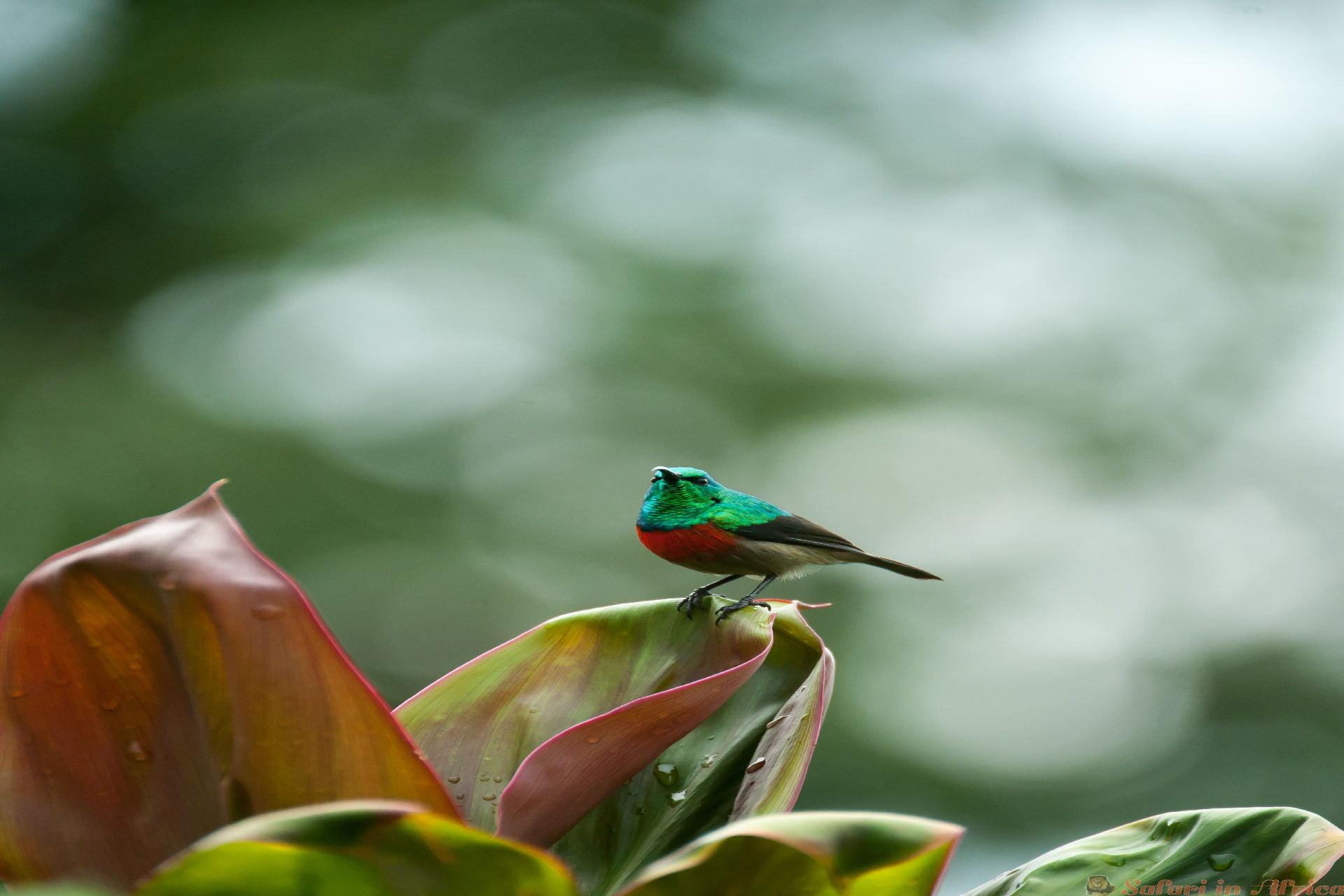 Sunbird in het Kibale National Forest, Oeganda