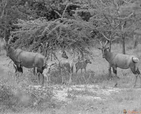 Topi-familie in de savanne van Lake Mburo National Park in Oeganda B&W