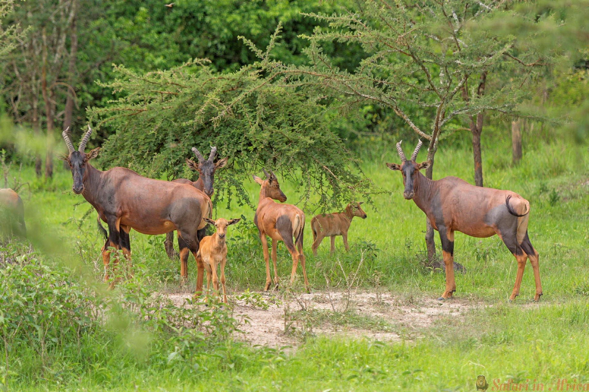 Topi Family in the Savannah of Lake Mburo National Park in Uganda