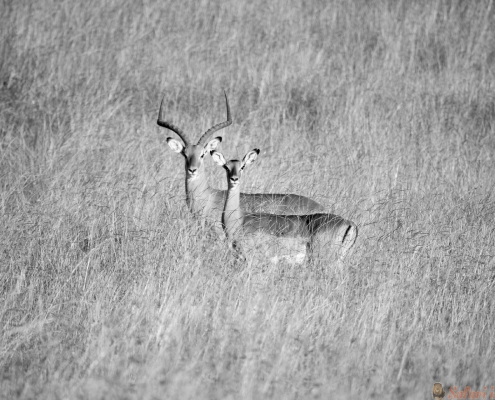 Two Impala in the middle of green grass of Lewa Wildlife Conservancy, North Kenya, Africa B&W