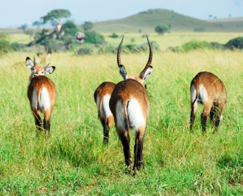 Waterbuck herd, Kidepo Valley NP