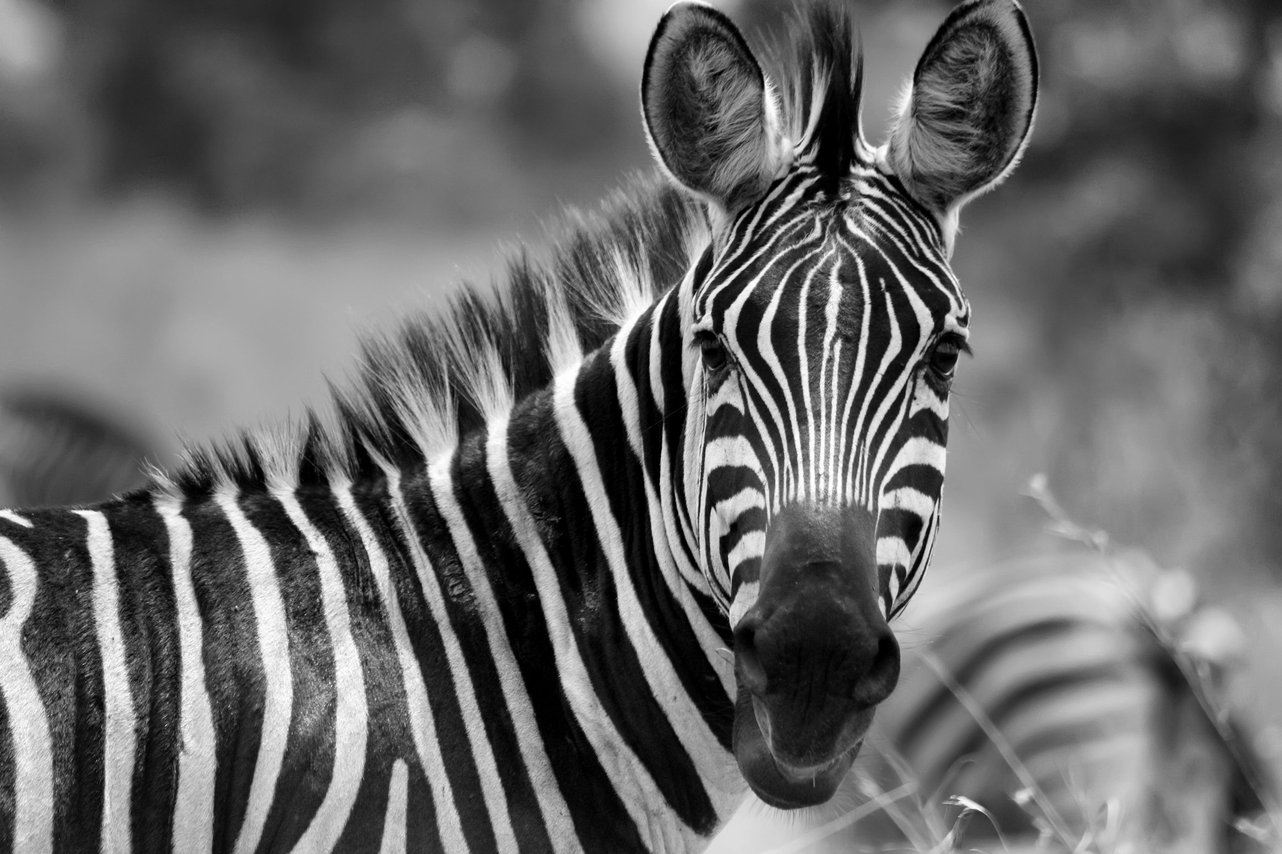Zebra in the Akagera National Park in Rwanda B&W