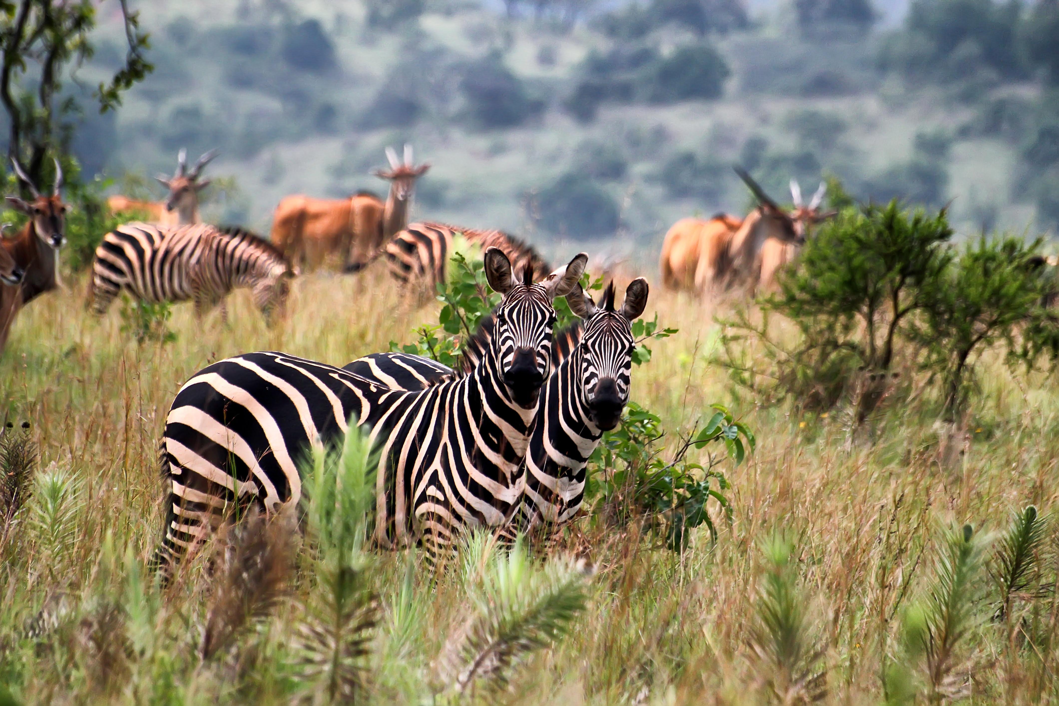 Zebras, Agakera, Rwanda