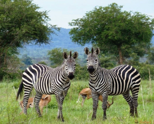 Zebras, Gombe