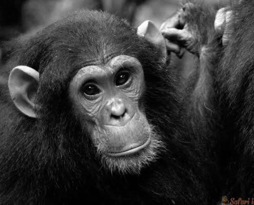 baby chimpanzee, Gombe B&W