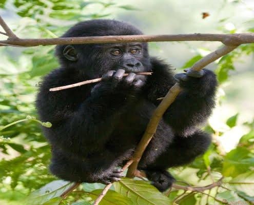 baby mountain gorilla on a tree. Uganda. Bwindi Impenetrable Forest National Park