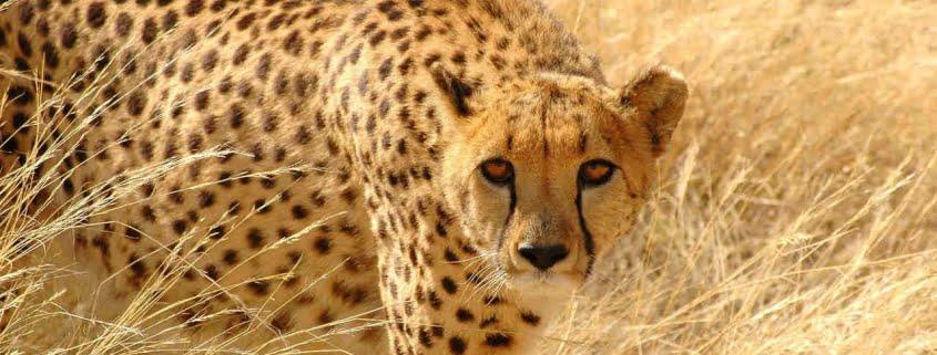 safari-in-kenia-cheetah